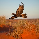 Wedge-tailed eagle taking off
