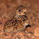 Inland dotterel chicks