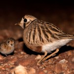 Inland dotterel parent and chick