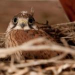 Australian kestrel chick
